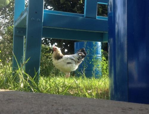 Hühnergeschnetzeltes